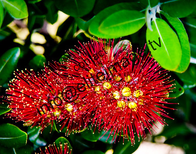"Pohutakawa trees bloom every summer earning it the name ""New Zealand Christmas tree'"""