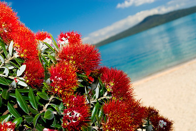 Pohutakawa blooms with Rangitoto Island in the Background - Auckland New Zealand 2