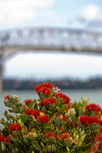 The destinctive crimson bloom of a New Zealand Christmas tree or Pohutakawa by the Auckland Harbour Bridge. New Zealand (portrait)