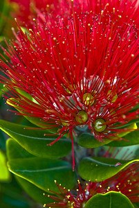 Close up of the crimson bloom of a New Zealand Christmas tree or Pohutakawa. Auckland waterfront New Zealand 2