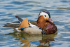 A male Mandarin Duck (Aix galericulata) has taken up residence at Lake Rotoiti, Nelson Lakes National Park, and is so enchanting the locals that they've named him Alphonso. December 2016. [Aix galericulata 001 LakeRotoiti-SI-New Zealand 2016-12]