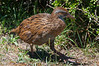 North Island Weka (Gallirallus australis) at Kapiti Island, New Zealand, January 2011. [Gallirallus australis NI 009 KapitiIsland-NZ 2011-01]
