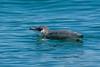 Little Blue Penguin or Korora (Eudyptula minor) in the Bay of Islands, Northland, December 2016. [Eudyptula minor 001 BayOfIslands-NZ 2016-12]