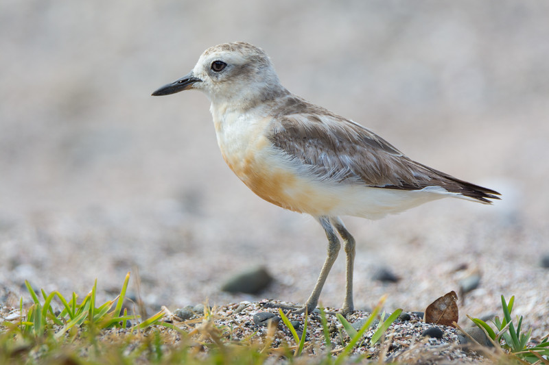 A New Zealand Dotterel (Charadrius obscurus) at Moturoa Island in the Bay of Islands, December 2016. [Charadrius obscurus 001 MoturoaIs-NZ 2016-12]