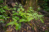 New Zealand Stinging Nettle or Ongaonga (Urtica ferox) growing healthy at Hay's Reserve, Pigeon Bay, near Christchurch, November 2016. [Urtica ferox 001 PigeonBay-SI-NZ 2016-11]