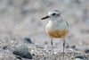 A New Zealand Dotterel (Charadrius obscurus) at Moturoa Island in the Bay of Islands, December 2016. [Charadrius obscurus 015 MoturoaIs-NZ 2016-12]