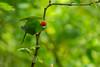 A Red-crowned Parakeet, or Kakariki (Cyanoramphus novaezelandiae) at Zealandia in Wellington, January 2017. [Cyanoramphus novaezelandiae 012 Zealandia-NZ 2017-01]