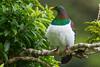 New Zealand Pigeon, Kereru (Hemiphaga novaeseelandiae)  at Zealandia in Wellington, January 2017. [Hemiphaga novaeseelandiae 015 Zealandia-NZ 2017-01]