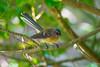 A New Zealand Fantail, or Piwakwaka (Rhipidura fuliginosa placabilis) on Moturoa Island in the Bay of Islands, New Zealand, December 2016. [Rhipidura fuliginosa placabilis 002 MoturoaIs-NZ 2016-12]