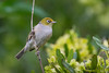 Silvereye, also known as Waxeye and White-eye (Zosterops lateralis) at Styx Mill Conservation Area in Christchurch, December 2016. [Zosterops lateralis 001 Christchurch-NZ 2016-12]