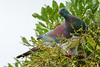 New Zealand Pigeon, Kereru (Hemiphaga novaeseelandiae)  at Tiritiri Matangi Island, January 2017. [Hemiphaga novaeseelandiae 004 TiritiriMatangiIs-NZ 2017-01]