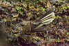 A New Zealand Fantail, or Piwakwaka (Rhipidura fuliginosa placabilis) on Moturoa Island in the Bay of Islands, New Zealand, December 2016. [Rhipidura fuliginosa placabilis 010 MoturoaIs-NZ 2016-12]