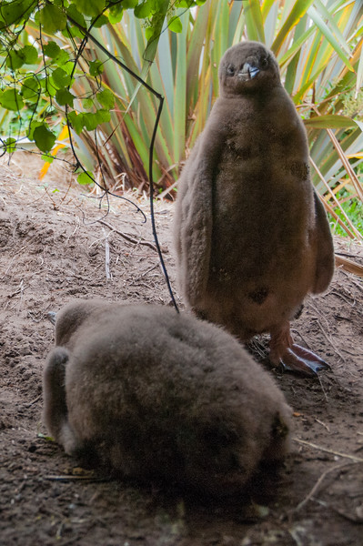 Two fat Yellow-eyed Penguin, Hoiho (Megadyptes antipodes) chicks, Otago Peninsular, New Zealand, January 2011. [Megadyptes antipodes 014 OtagoPeninsular-NZ 2011-01]