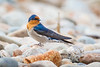 Welcome Swallow (Hirundo neoxena) resting between bouts of hawking for duck feathers to line its nest, at Lake Rotoiti, South Island, New Zealand, December 2016. [Hirundo neoxena 001 LakeRotoiti-SI-NZ 2016-12]