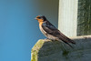 A Welcome Swallow (Hirundo neoxena) at Whakapuaka Treatment Wetlands near Nelson, December 2016. [Hirundo neoxena 017 Nelson-NZ 2016-12]