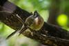 A New Zealand Fantail, or Piwakwaka (Rhipidura fuliginosa placabilis) on Moturoa Island in the Bay of Islands, New Zealand, December 2016. [Rhipidura fuliginosa placabilis 011 MoturoaIs-NZ 2016-12]