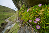 New Zealand Ice Plant or Horokaka (Disphyma australe) on the west coast at Kaihoka, Golden Bay, December 2016. [Disphyma australe 019 Kaihoka-NZ 2016-12]