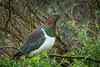 New Zealand Pigeon, or Kereru (Hemiphaga novaeseelandiae), at Pigeon Bay near Christchurch, November 2016. [Hemiphaga novaeseelandiae 001 PigeonBay-NZ 2016-11]