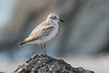 A New Zealand Dotterel (Charadrius obscurus) at Moturoa Island in the Bay of Islands, December 2016. [Charadrius obscurus 018 MoturoaIs-NZ 2016-12]