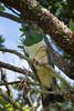 New Zealand Pigeon, Kereru (Hemiphaga novaeseelandiae)  at Tiritiri Matangi Island, January 2017. [Hemiphaga novaeseelandiae 014 TiritiriMatangiIs-NZ 2017-01]
