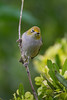 Silvereye, also known as Waxeye and White-eye (Zosterops lateralis) at Styx Mill Conservation Area in Christchurch, December 2016. [Zosterops lateralis 014 Christchurch-NZ 2016-12]