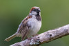 Proud cock House Sparrow (Passer domesticus) in the Waitakeres near Auckland, January 2017. [Passer domesticus 017 Waitakere-NZ 2017-01]