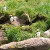 Gull Island. Witless Bay Ecological Preserve. New Foundland