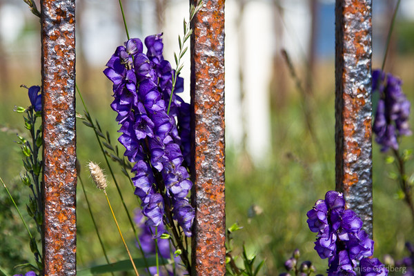 purple flowers, rusty fence, Fogo, Newfoundland