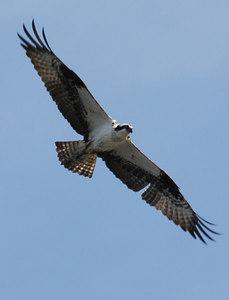 Osprey, Newfoundland, July 2006