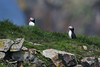 Atlantic Puffins, Elliston, NL.