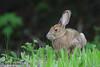 Snowshoe Hare, Dildo Run Prov Park, NL.