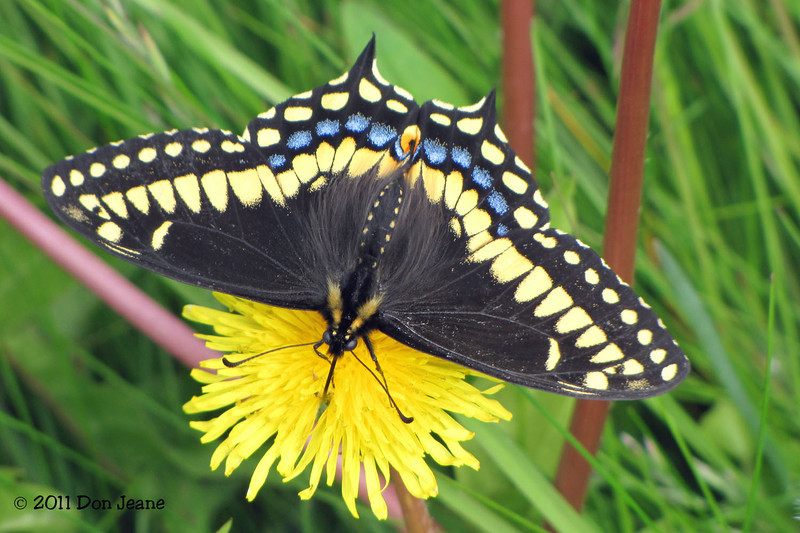 Short-tailed Swallowtail, Coastal Trail, Gros Morne Natl Park.