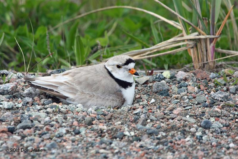 Piping Plover on nest, Codroy Valley Prov Park.