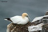 Northern Gannet, St Mary's Ecological Reserve.