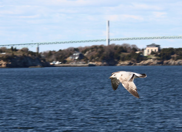 Gull on the fly