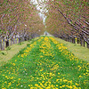 Pear Trees in the orchard<br /> Stonechurch Winery<br /> RL