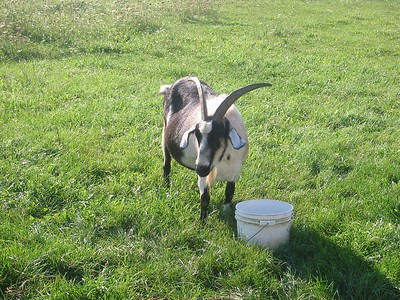 Dave Perkins' goat