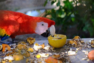 Nicaraguan Scarlet Macaw, Managua.