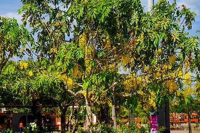 Golden Rain Tree (Koelreuteria paniculata).