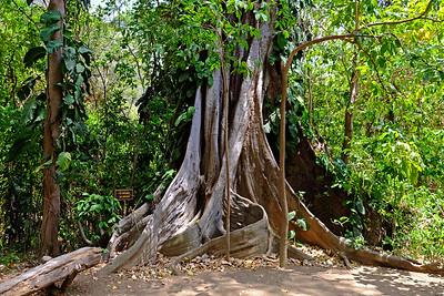 Base of the Kapok Tree - Ceiba pentandra.
