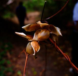 Hawaiian wood roses - Merremia tuberosa.