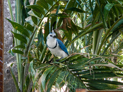 White-throated magpie-jay (Calocitta formosa).
