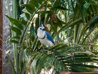 White-throated magpie-jay (Calocitta formosa).