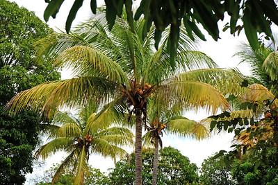 Yellow Coconut - Cocos nucifera.