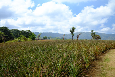 Rows of pineapples.