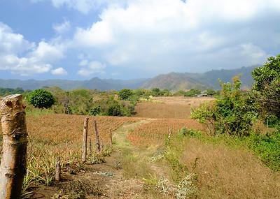 Pineapple Plantation.