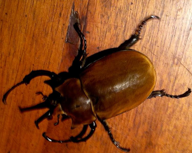 3-inch beetle at Morgan's Rock reception