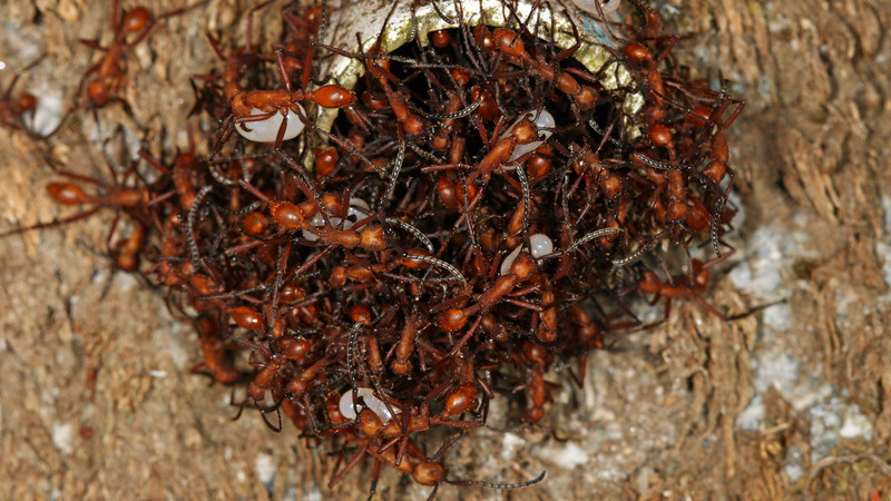 Montibelli - A bivouac of Red Army Ants (Neivamyrmex sp.) in a drainage pipe