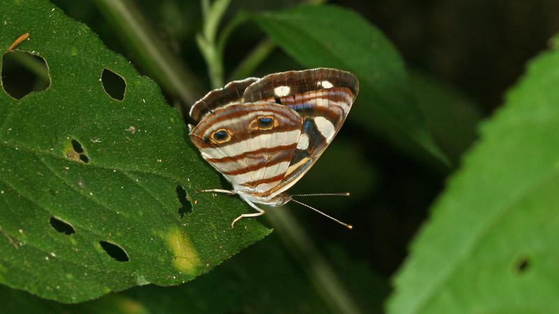 Montibelli - Four-spotted Sailor (Dynamine postverta)