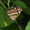 Montibelli - Four-spotted Sailor (Dynamine postverta)